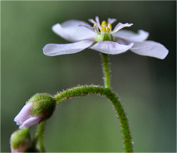 Quelques fleurs de droseras  Droser28