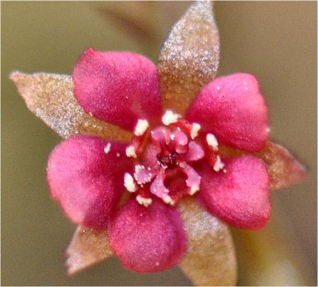 Quelques fleurs de droseras  Droser32