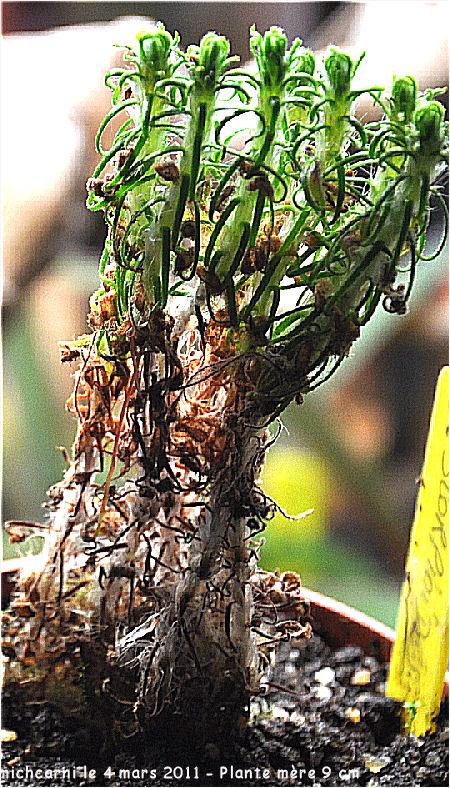 Droseras Scorpioides à partir de gemmes Droser33