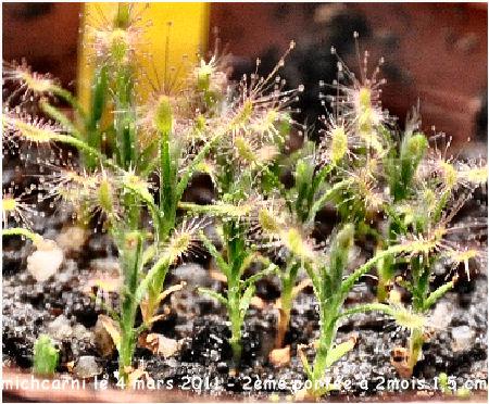 Droseras Scorpioides à partir de gemmes Droser38