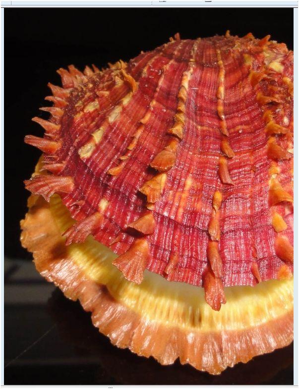 Quelques pieces de ma collection de Spondylidae Pb_ima10