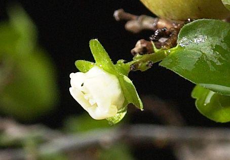 Diospyros montana Female10