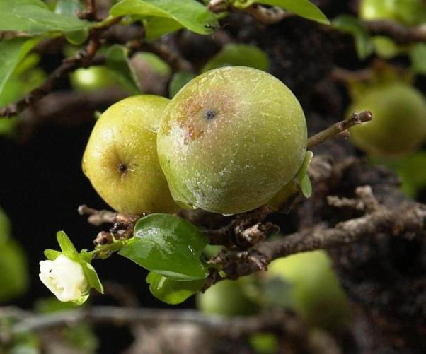 Diospyros montana Fruits10