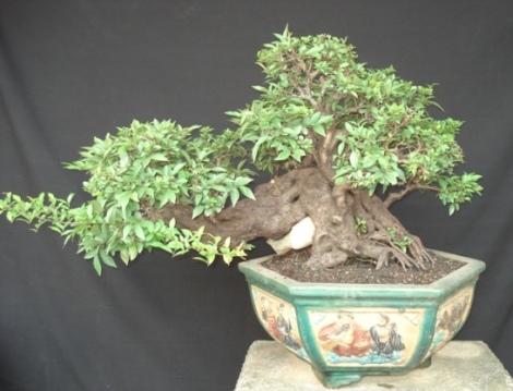 Diospyros montana In_20011