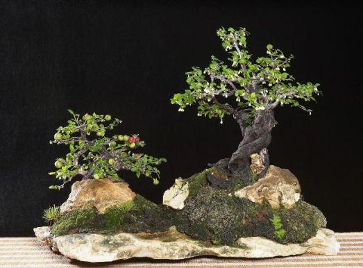Diospyros montana Mustam12