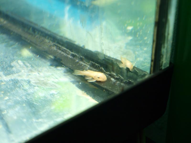 arrivage de nouveaux poissons en quarentaine P5076312