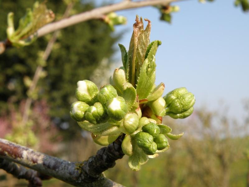 printemps avril 2010, bourgeons et fleurs printanières Vauvar59