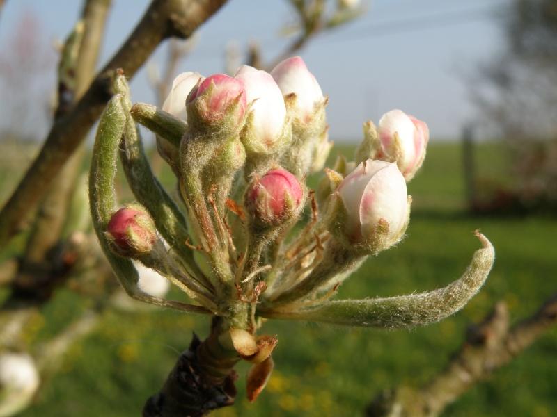 printemps avril 2010, bourgeons et fleurs printanières Vauvar60