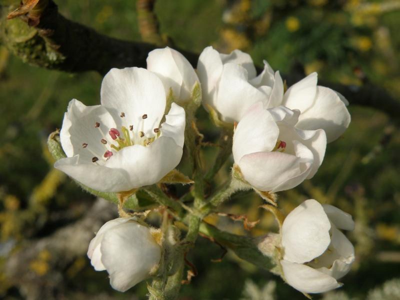 printemps avril 2010, bourgeons et fleurs printanières Vauvar61