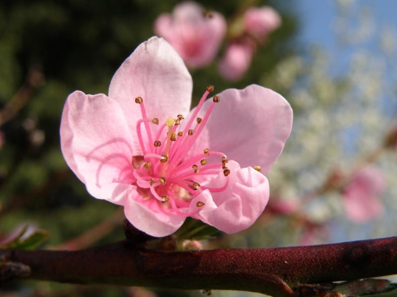 printemps avril 2010, bourgeons et fleurs printanières Vauvar62