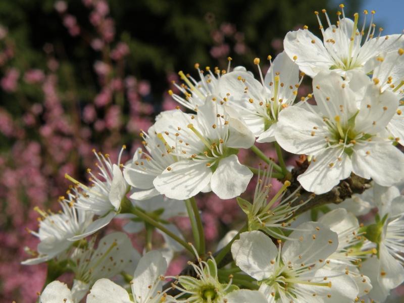 printemps avril 2010, bourgeons et fleurs printanières Vauvar63