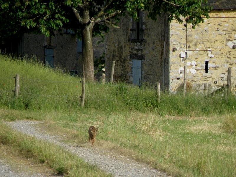Début juin 2010 en Mayenne... lièvre cabotin et perdrix rouge Vauvar80