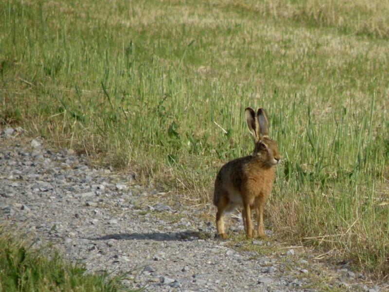 Début juin 2010 en Mayenne... lièvre cabotin et perdrix rouge Vauvar81