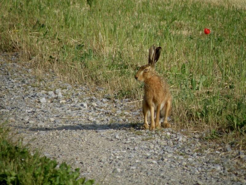 Début juin 2010 en Mayenne... lièvre cabotin et perdrix rouge Vauvar82