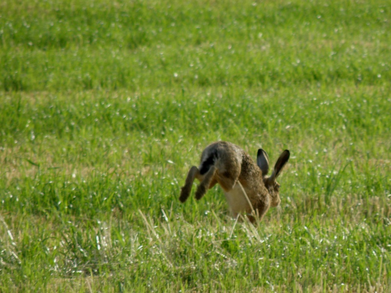 Début juin 2010 en Mayenne... lièvre cabotin et perdrix rouge Vauvar84