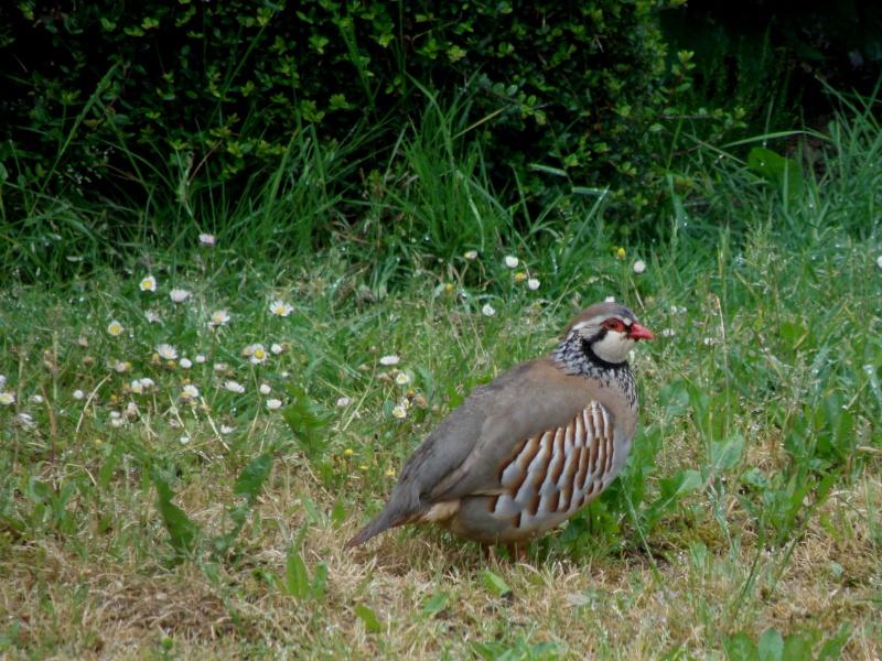 Début juin 2010 en Mayenne... lièvre cabotin et perdrix rouge Vauvar85