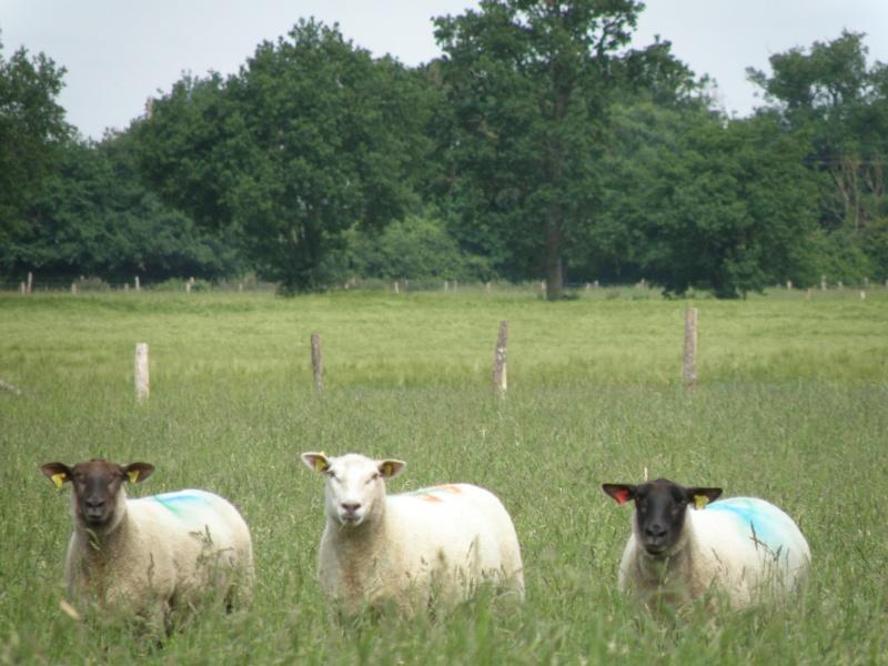Début juin 2010 en Mayenne... lièvre cabotin et perdrix rouge Vauvar87