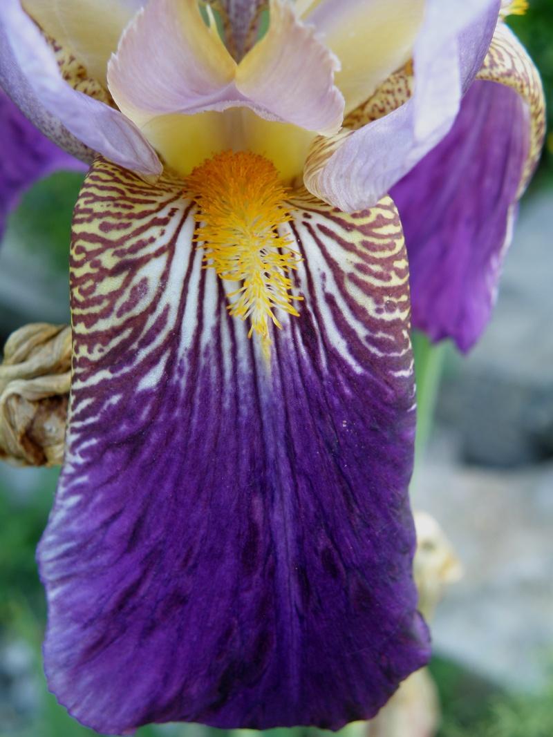 Début juin 2010 en Mayenne : iris, coquelicots, cerises et poires Vauvar93