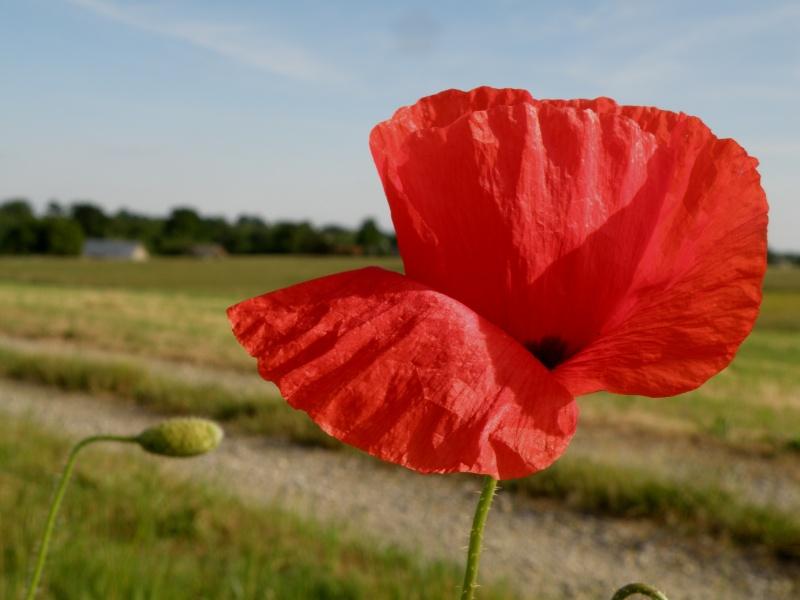 Début juin 2010 en Mayenne : iris, coquelicots, cerises et poires Vauvar94