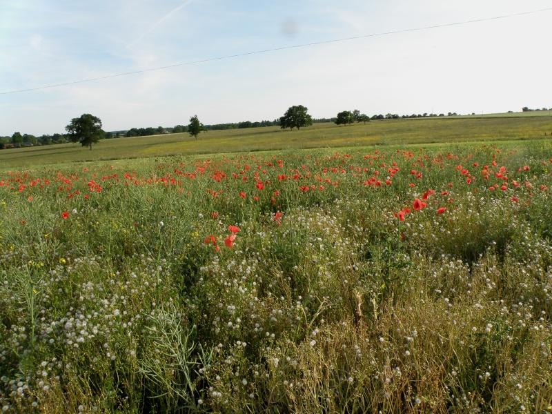 Début juin 2010 en Mayenne : iris, coquelicots, cerises et poires Vauvar95