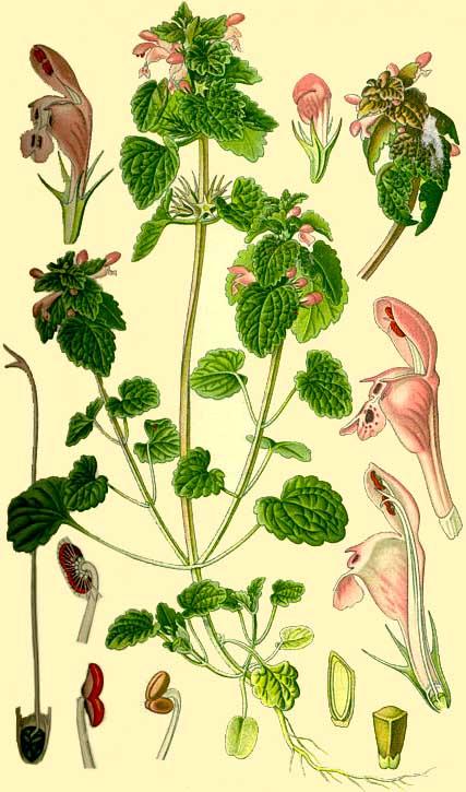 Lamier pourpre / Lamium purpureum B10