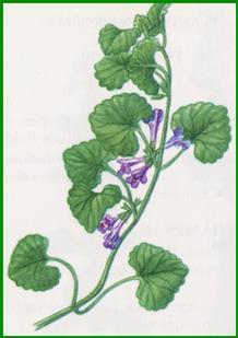 Lamier pourpre / Lamium purpureum Lierre10