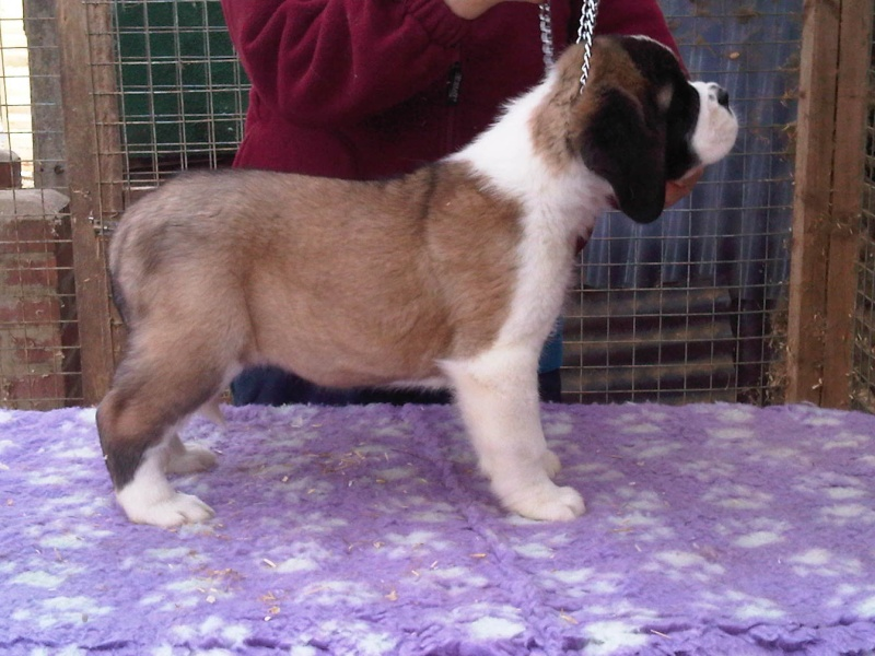 Blossom x Mirrac puppies now 7 weeks :-) 3rd_bo10