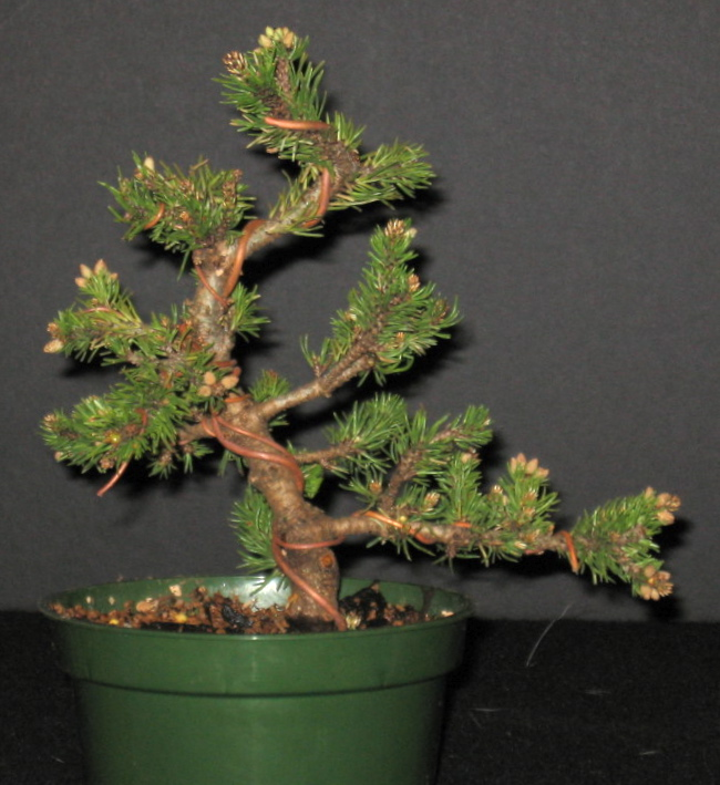 Miniature Mugo Pine Img_0810