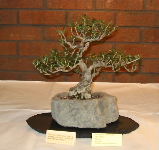 Bonsai goes to Church (and Synagog) Olive10