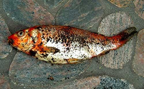 Fête du poisson Poisso10