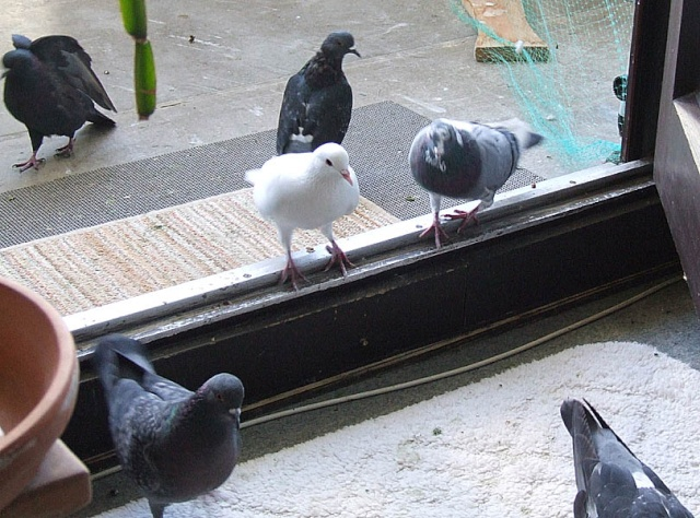 A stylish Pigeon Still Life on a late sunny Autumn Day 1008x010