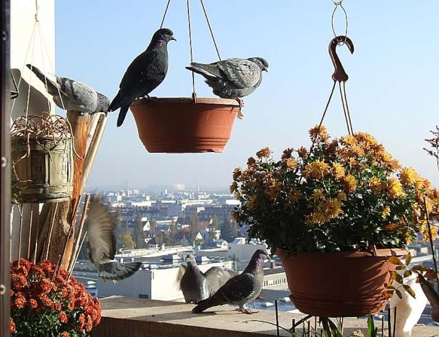 A stylish Pigeon Still Life on a late sunny Autumn Day 1026x021