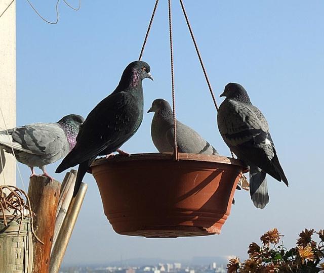 A stylish Pigeon Still Life on a late sunny Autumn Day 1026x023