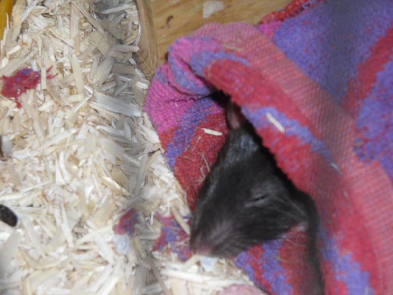 Comment dorment vos rats? - Page 3 Sam_0731