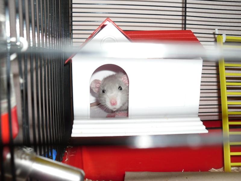 Comment dorment vos rats? - Page 3 Sam_0732