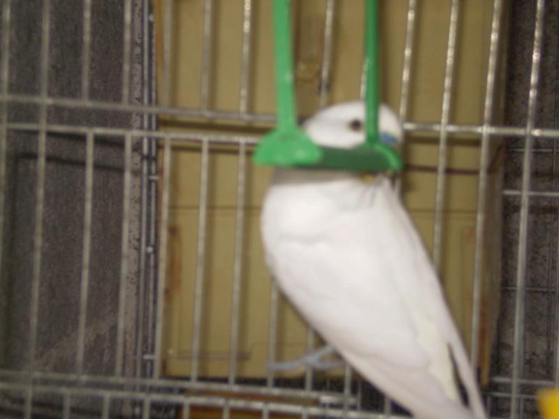 il mio ondulato albino con occhi neri Cocrit10