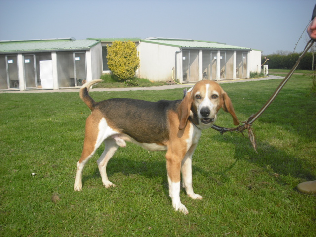 BOUDY, beagle mâle, 10 ans (14) Photo_52