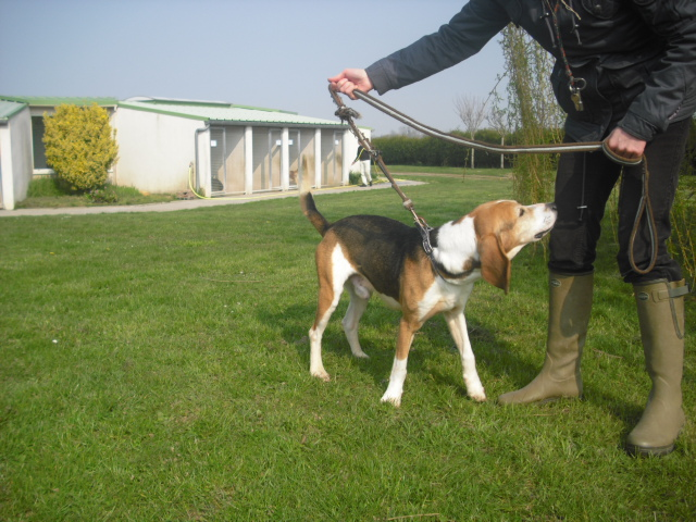 BOUDY, beagle mâle, 10 ans (14) Photo_54