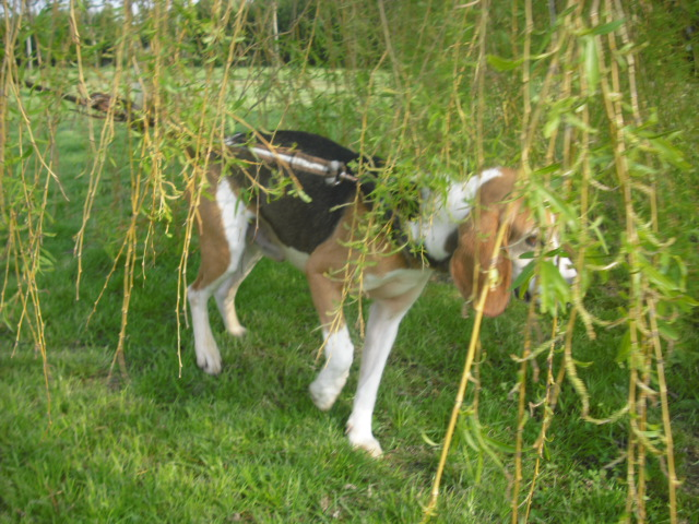 BOUDY, beagle mâle, 10 ans (14) Photo_55