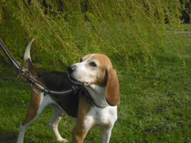 BOUDY, beagle mâle, 10 ans (14) Photo_56