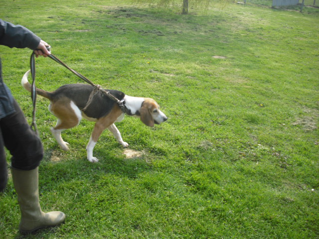 BOUDY, beagle mâle, 10 ans (14) Photo_57