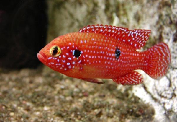 Cichlidés et petits aquariums: suggestions (2ème partie) 41710