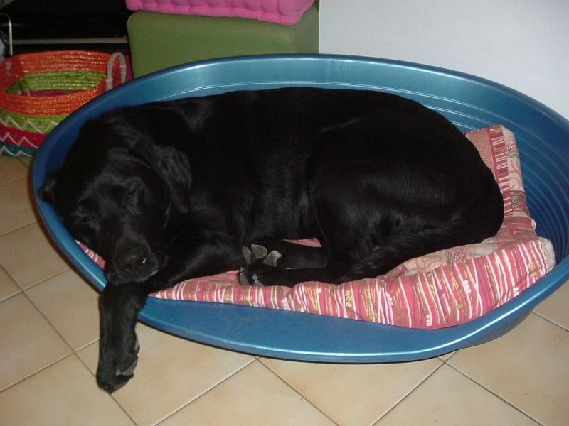 SAXO... X labrador, mâle, 9 ans Dscf4025