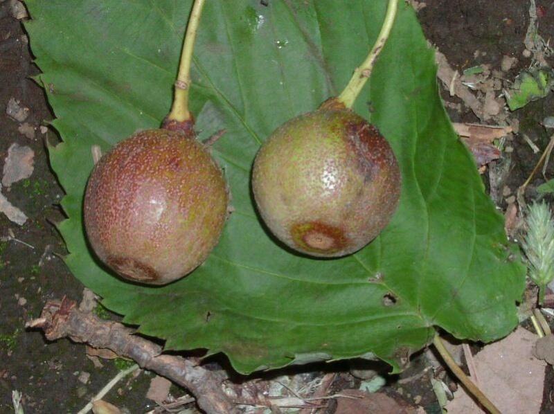 Davidia involucrata (arbre aux mouchoirs) 01091510