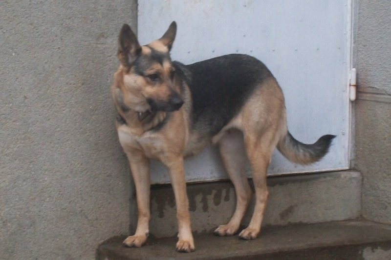 Dolly typer berger allemand  2 ans Dolly_34