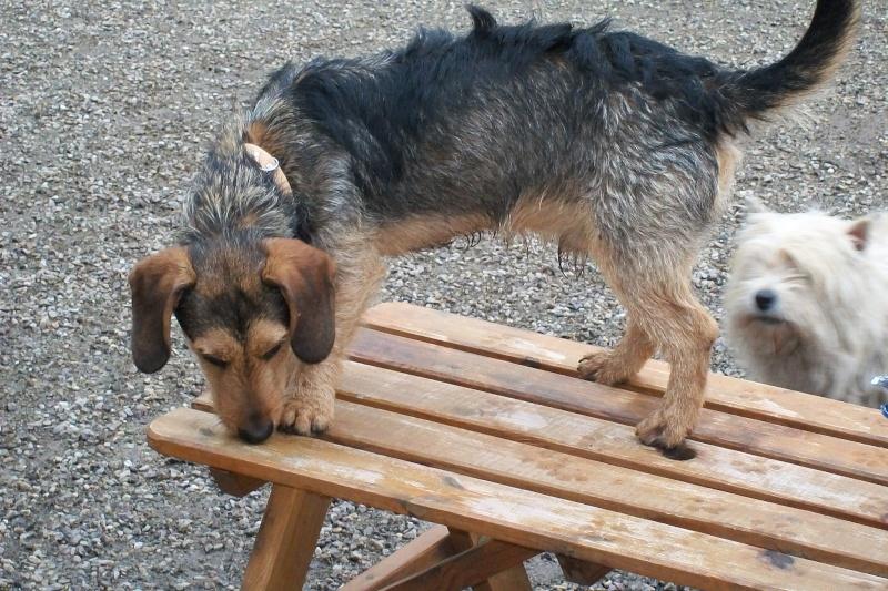 ELVIS, croisé beagle/teckel, 1 an (72) Ma_mai24