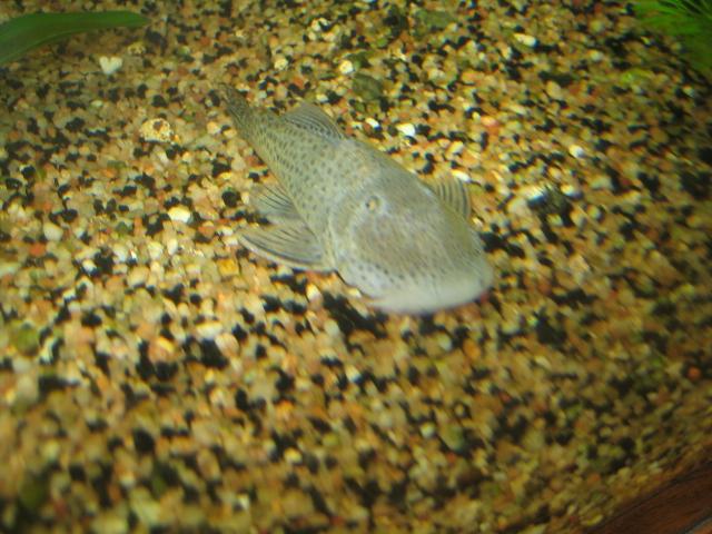 chaetostoma punctata Img_3614