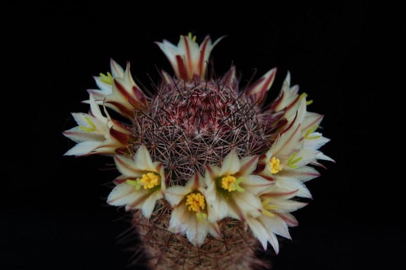 Mammillaria dioica 1043-211