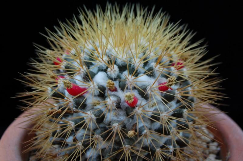 Mammillaria nivosa 1366-210