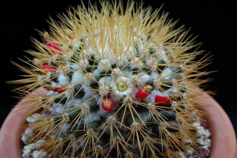 Mammillaria nivosa 1366-211
